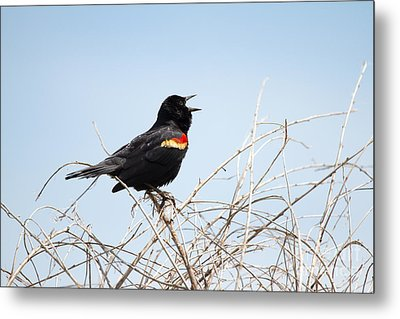 Song Of A Red-winged Blackbird Metal Print by Ellie Teramoto
