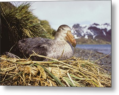 Southern Giant Petrel Metal Print by Peter Scoones
