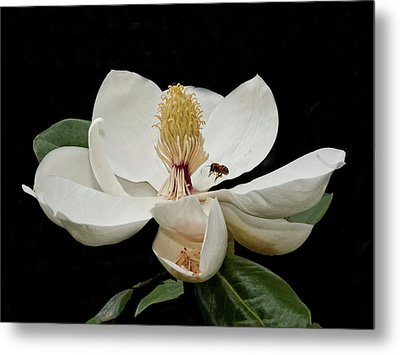 Southern Magnolia With Bee Metal Print by Sandra Anderson