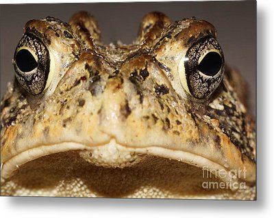 Southern Toad Close Up Metal Print by Lynda Dawson-Youngclaus