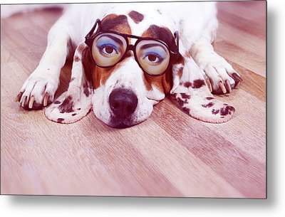 Spanish Hound Dog Lying With Joke Glasses Metal Print by Retales Botijero
