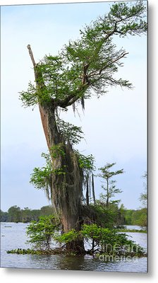 Spanish Moss On Bald Cypress Tree In The Atchafalaya Swamp Metal Print