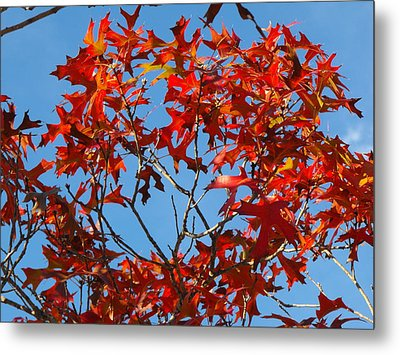 Spanish Oak Tree In Texas Metal Print by Rebecca Cearley
