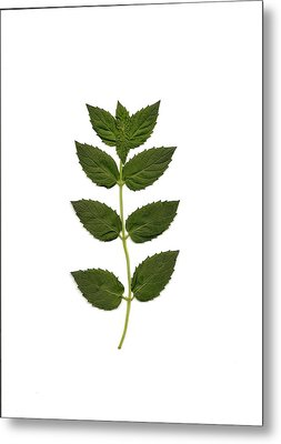 Spearmint Metal Print by Mary Ann Southern