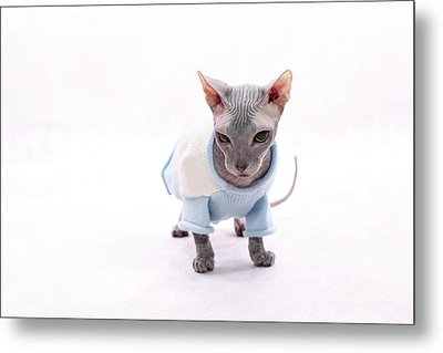 Sphynx Hairless Cat. Metal Print by With love of photography
