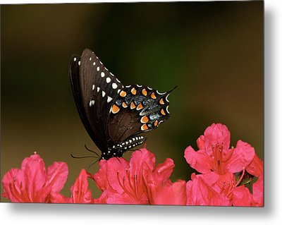 Spice Bush Swallowtail And Azaleas Metal Print by Lara Ellis