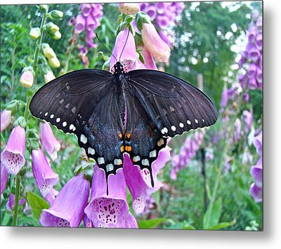 Spicebush Swallowtail Butterfly On Foxgloves - Papilio Troilus Metal Print by Mother Nature