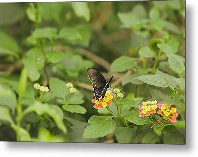 Spicebush Swallowtail Butterfly On Lantana Shrub Verbena Metal Print by Marianne Campolongo