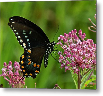 Spicebush Swallowtail Din039 Metal Print by Gerry Gantt