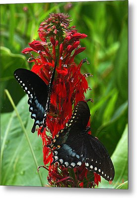 Spicebush Swallowtails Visiting Cardinal Lobelia Din041 Metal Print by Gerry Gantt