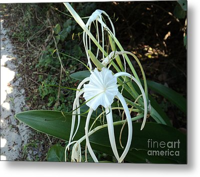 Metal Print featuring the photograph Spider Lily3 by Megan Dirsa-DuBois