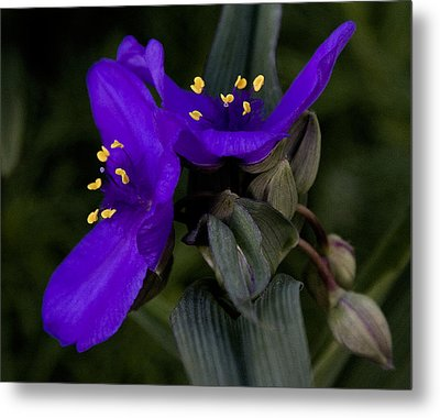 Spiderwort Lovers Metal Print by Michael Friedman