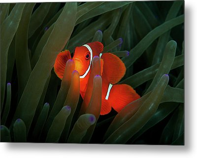 Spinecheek Anemonefish Metal Print by Alastair Pollock Photography