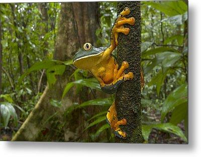 Splendid Leaf Frog  Costa Rica Metal Print by Piotr Naskrecki