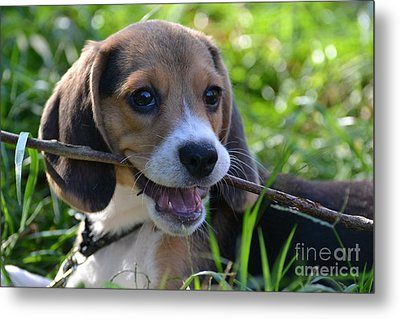 Spot The Pocket Beagle Metal Print