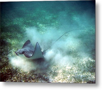 Spotted Eagle Ray Feeding Metal Print