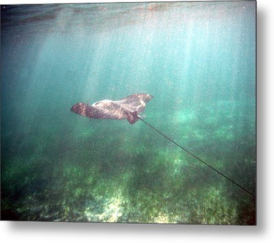 Spotted Eagle Ray In Flight Metal Print