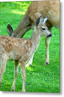 Metal Print featuring the photograph Spotted Fawn And Doe by Cindy Wright
