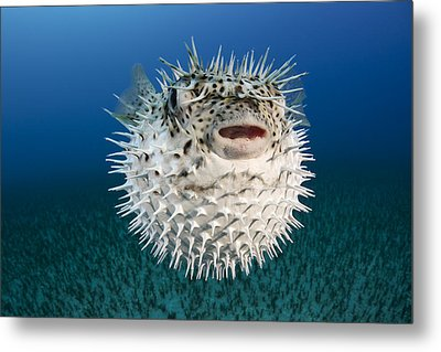 Spotted Porcupinefish IIi Metal Print by Dave Fleetham
