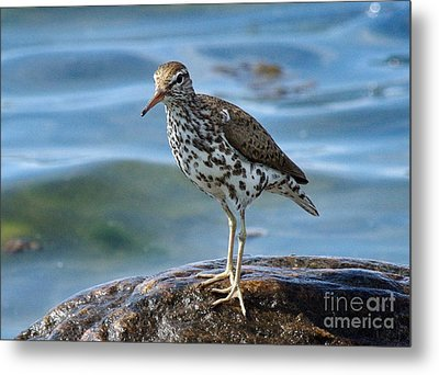 Spotted Sand Piper 6 Metal Print by Andrea Kollo