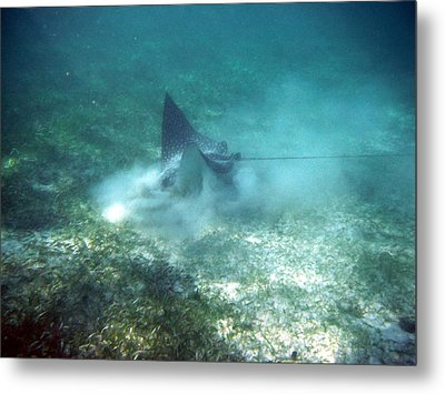 Sppoted Eagle Ray In The Feed Metal Print