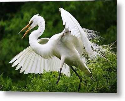 Spreading His Wings Metal Print by Paulette Thomas