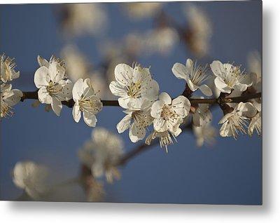 Spring Blossoms Metal Print by Ayhan Altun