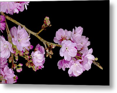 Spring Cherry Blossoms 2 Metal Print by Barnaby Chambers