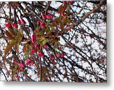 Spring Cherry Blossoms Metal Print by Rayofra Ra