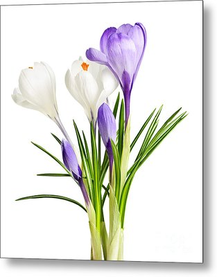 Spring Crocus Flowers Metal Print by Elena Elisseeva