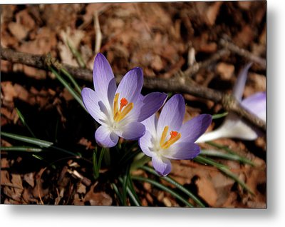 Metal Print featuring the photograph Spring Crocus by Paul Mashburn