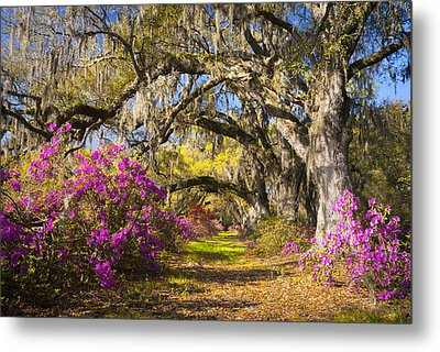 Spring Flowers Charleston Sc Azalea Blooms Deep South Landscape Photography Metal Print by Dave Allen