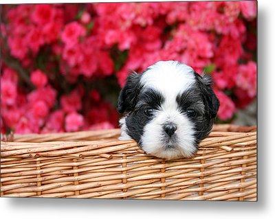 Spring Puppy  Metal Print by Darren Fisher