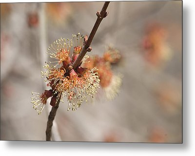 Spring Tree Bud Metal Print by Lisa Missenda