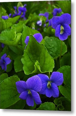 Spring Violets Metal Print by Yvonne Scott