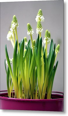 Spring White Flowers Metal Print by © Fanny BETEMPS - 2010