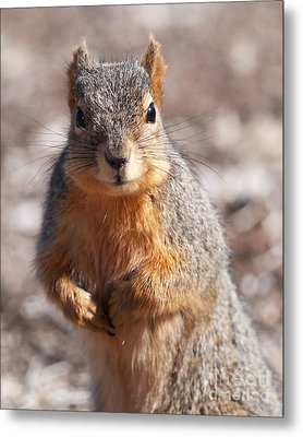 Squirrel Metal Print by Art Whitton