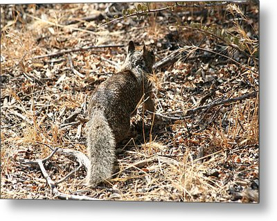 Squirrel Ascent Metal Print by Diana Poe