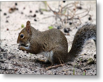 Metal Print featuring the photograph Squirrel Eating Nuts by Jeanne Andrews