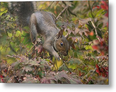 Squirrel In Fall Metal Print by Valia Bradshaw