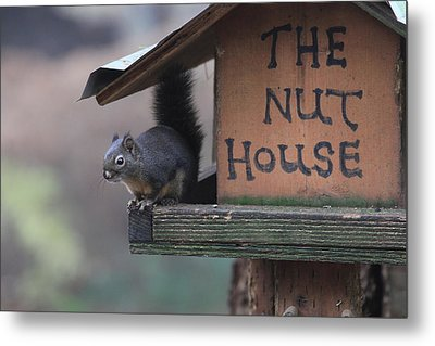 Squirrel In The Nut House Metal Print by Sam Amato