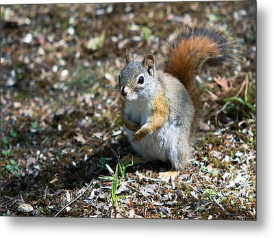 Metal Print featuring the photograph Squirrel by Josef Pittner