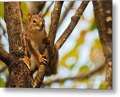 Squirrel On High Metal Print by Cheryl Baxter