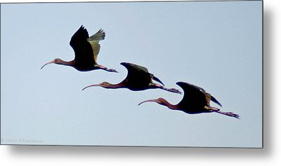 Metal Print featuring the photograph Stacked Ibis by Mitch Shindelbower