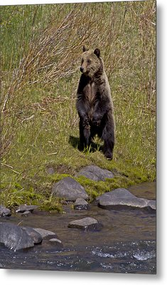Metal Print featuring the photograph Standing Grizzly by J L Woody Wooden