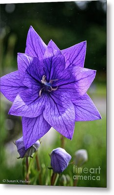 Star Balloon Flower Metal Print by Susan Herber