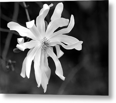 Star Magnolia Metal Print by Lisa Phillips