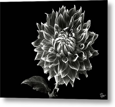 Metal Print featuring the photograph Starburst Dahlia In Black And White by Endre Balogh