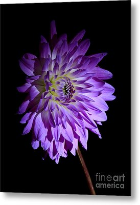 Starlight Star Bright Metal Print by Inspired Nature Photography Fine Art Photography