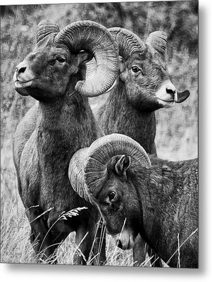 Stoic Horns Metal Print by Kevin Munro